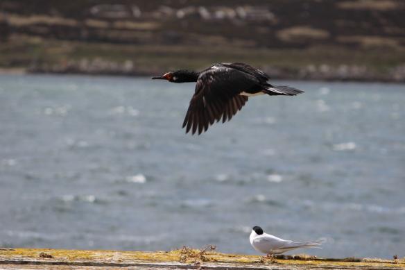 shag and tern