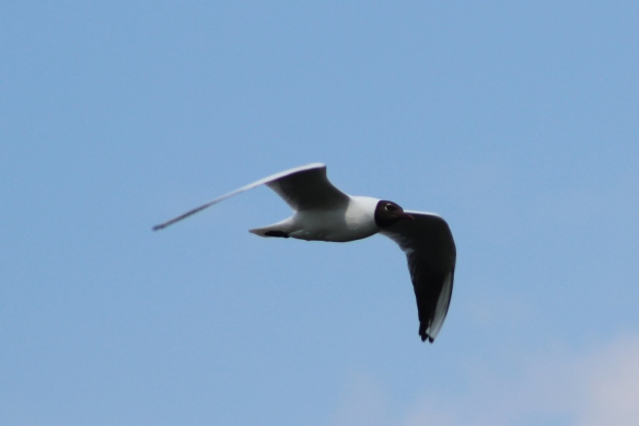 blackheaded gull