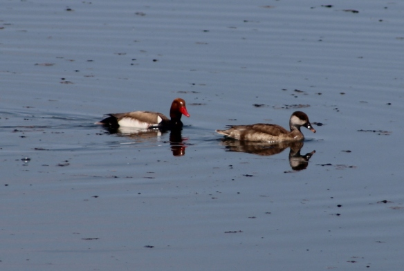 redcrested pochard