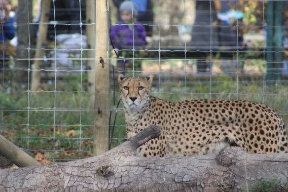 cheetah vienna